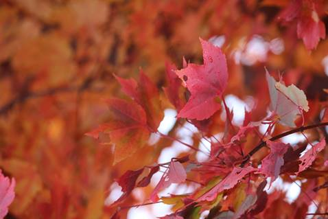 New England fall maple leaves. A UMCom photo by Kay Panovec.